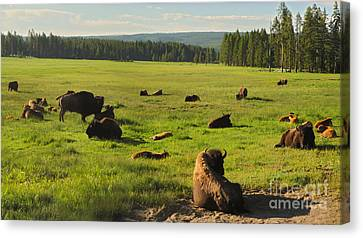 Yellowstone National Park Bison - 03 Canvas Print by Gregory Dyer