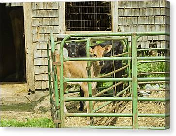 Young Calf In Fence Pen Near Barn Summer Maine Canvas Print by Keith Webber Jr