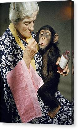Young Chimpanzee Sips Medicine Canvas Print by B. A. Stewart And David S. Boyer