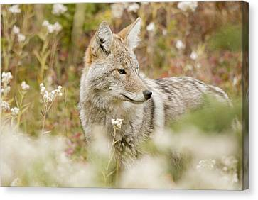 Young Coyote Canis Latrans In A Forest Canvas Print by Philippe Widling