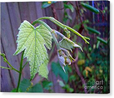 Young Grape Leaves Canvas Print by Padre Art