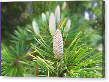 Young Pine Cones Canvas Print by Anne Mott