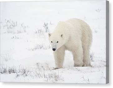 Young Polar Bear Ursus Maritimus Walks Canvas Print by Richard Wear