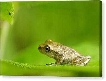 Young Spring Peeper Pseudacris Crucifer Canvas Print by Steeve Marcoux