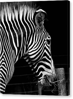 Zebra Canvas Print by Brendan Reals