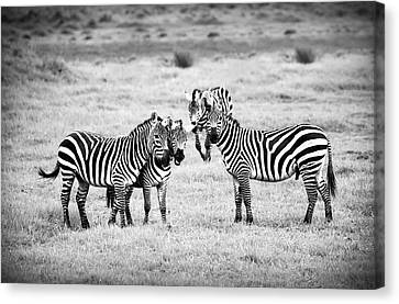 Zebras In Black And White Canvas Print by Sebastian Musial