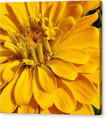 Zinnia Close Up Canvas Print by Bruce Bley