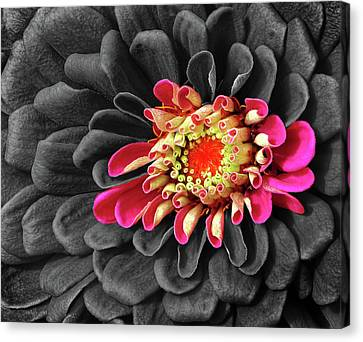 Zinnia Canvas Print by Dave Mills