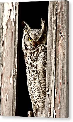 Great Horned Owl Perched In Barn Window Canvas Print by Mark Duffy
