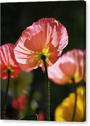Icelandic Poppies Canvas Print by Rona Black