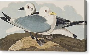 Kittiwake Gull Canvas Print by John James Audubon