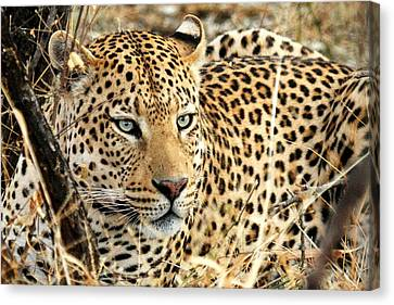 Leopard Eyes Canvas Print by Tom Cheatham