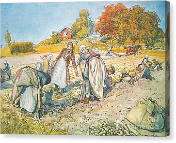 Potato Harvesting Canvas Print by Celestial Images