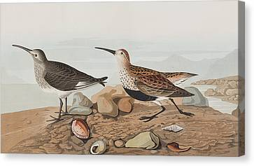Red Backed Sandpiper Canvas Print by John James Audubon