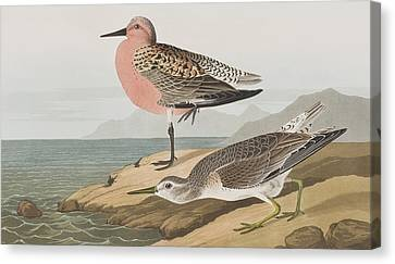 Red-breasted Sandpiper  Canvas Print by John James Audubon