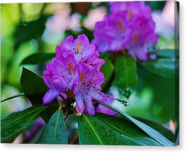 Rhodendron After Rain Canvas Print by Beth Deitrick
