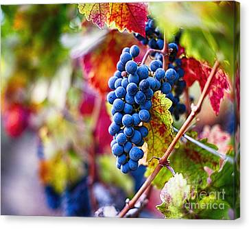 Ripe Blue Grapes On The Vine Canvas Print by George Oze