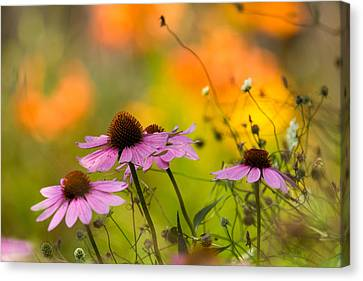 Coneflower Symphony Canvas Print by Mary Amerman