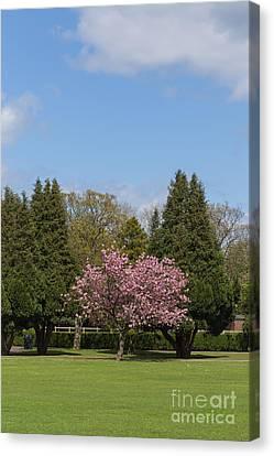 Accolade Cherry Tree Canvas Print by Bahadir Yeniceri