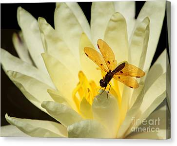 Amber Dragonfly Dancer 2 Canvas Print by Sabrina L Ryan
