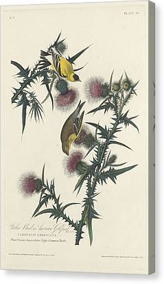 American Goldfinch Canvas Print by John James Audubon
