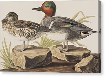 American Green-winged Teal Canvas Print by John James Audubon