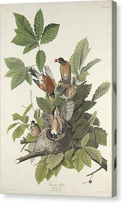 American Robin Canvas Print by John James Audubon
