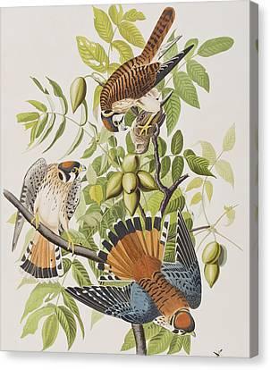 American Sparrow Hawk Canvas Print by John James Audubon