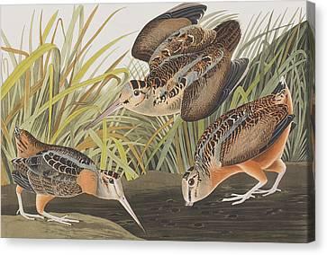 American Woodcock Canvas Print by John James Audubon