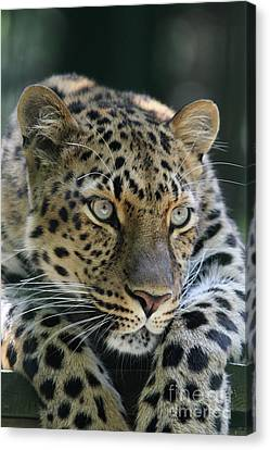 Amur Leopard #2 Canvas Print by Judy Whitton