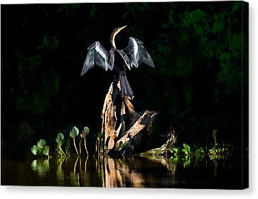Anhinga Anhinga Anhinga, Pantanal Canvas Print by Panoramic Images