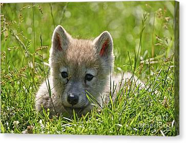 Arctic Wolf Pup Canvas Print by Michael Cummings
