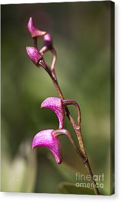 Australia's Native Orchid Small Dendrobium Canvas Print by Joy Watson