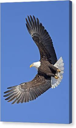 Bald Eagle In Flight Canvas Print by Tim Grams