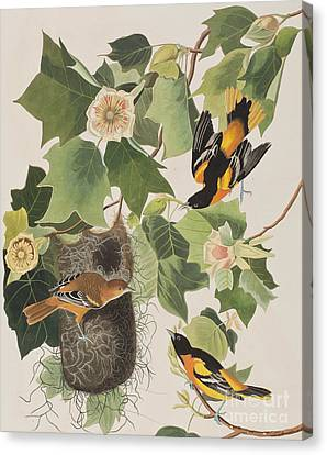 Baltimore Oriole Canvas Print by John James Audubon