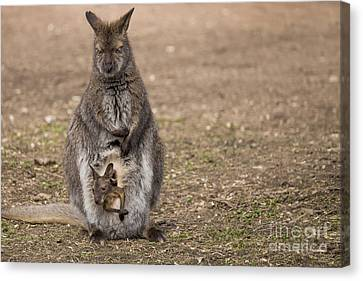 Bennett's Wallaby Canvas Print by Twenty Two North Photography