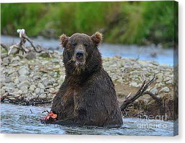Big Brown Bear Eating Salmon In Stream Canvas Print by Dan Friend