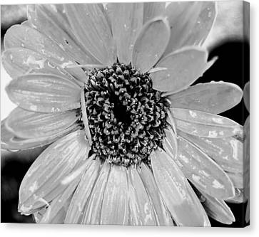 Black And White Gerbera Daisy Canvas Print by Amy Fose