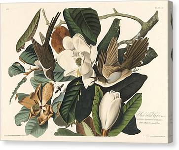 Black-billed Cuckoo Canvas Print by John James Audubon
