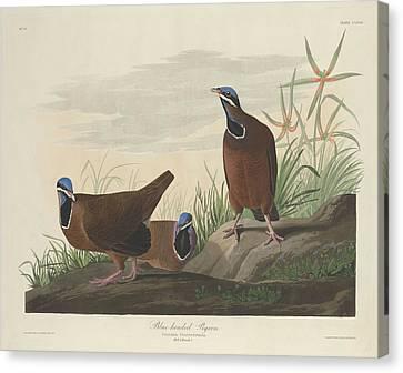 Blue-headed Pigeon Canvas Print by John James Audubon