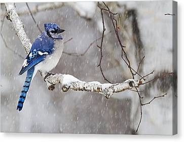 Blue Jay  Cyanocitta Cristata Perched Canvas Print by Philippe Henry