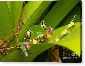 Blue-sided Tree Frog Canvas Print by B.G. Thomson