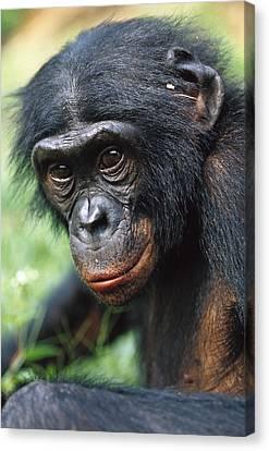 Bonobo Pan Paniscus Portrait Canvas Print by Cyril Ruoso