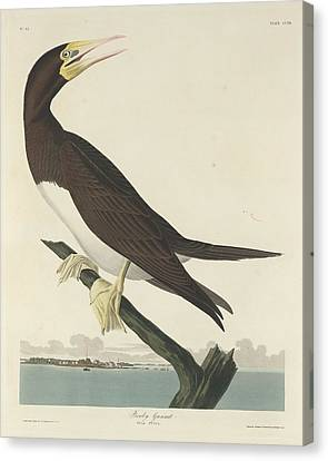 Booby Gannet Canvas Print by John James Audubon