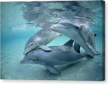 Bottlenose Dolphin Underwater Trio Canvas Print by Flip Nicklin