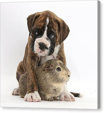 Boxer Puppy And Guinea Pig Canvas Print by Mark Taylor