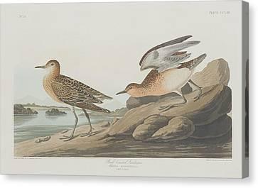 Buff-breasted Sandpiper Canvas Print by John James Audubon