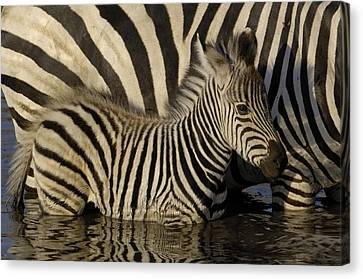 Burchells Zebra Equus Burchellii Foal Canvas Print by Pete Oxford