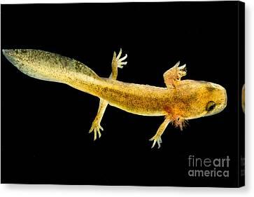California Giant Salamander Larva Canvas Print by Dant� Fenolio