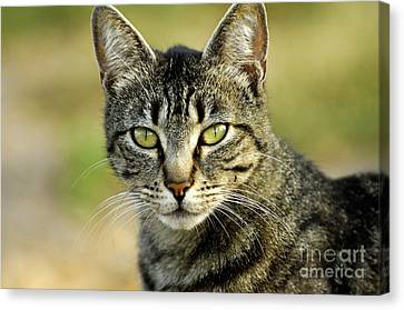 Cat Canvas Print by Marc Bittan